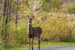 Whitetail doe Stock Image