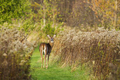 Whitetail doe Stock Photography