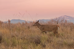 Whitetail Doe in Early Morning Royalty Free Stock Image