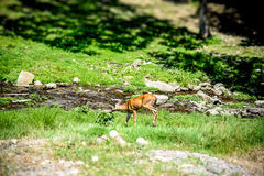 Whitetail Doe Eating by a small stream Stock Photography