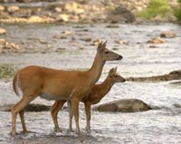 Whitetail Doe With Fawn Stock Photography