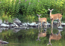 Whitetail Doe With Fawn Royalty Free Stock Photography