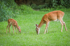Whitetail doe and fawn Stock Image