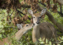 Whitetail Doe With Fawn (Odoco) Stock Photo