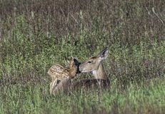 Whitetail doe and fawn share a kiss. Whitetail mother and fawn together sharing a kiss in the early morning Royalty Free Stock Image