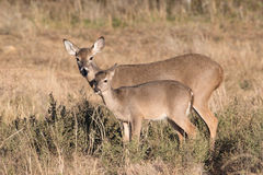 Whitetail Doe and Fawn Stock Images