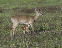 Whitetail doe and fawn together in the field. Whitetail mother and fawn together in the meadow shortly share a moment together Stock Image