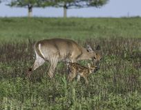 Whitetail doe and fawn together Royalty Free Stock Photo