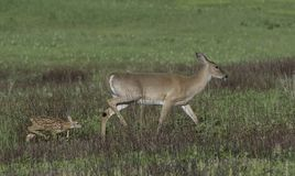 Whitetail doe and fawn walking together Royalty Free Stock Photos