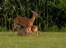 Whitetail Doe feeding twin fawns stock photos