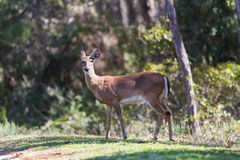 Whitetail doe female deer Stock Photos