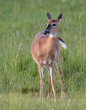 A whitetail doe in a field of green grass Stock Image