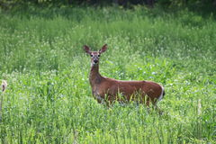 A Whitetail Doe in a Field. Royalty Free Stock Images
