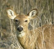 Whitetail Doe Head Shot Stock Photo