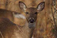 White tail doe behind trees Royalty Free Stock Image