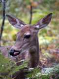 Whitetail Doe Licking her Chops Royalty Free Stock Photos