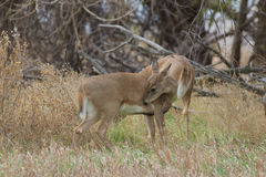 Whitetail Doe Licking Stock Photography