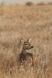 Whitetail Doe Looking Back Stock Photography