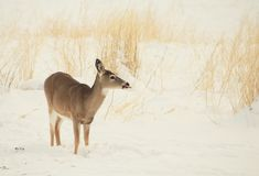 Whitetail Doe in the Montana Snow. Whitetail Doe in an early snow of Montana Royalty Free Stock Image