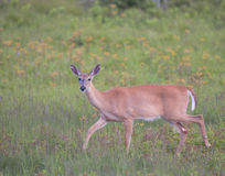 A whitetail doe on the move in a field of spring wildflowers. A doe glances over on her move through a spring meadow Royalty Free Stock Photos