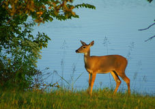 Whitetail doe near lake Royalty Free Stock Photos