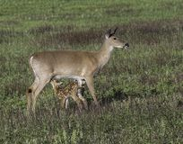 Whitetail doe with fawn nursing in the meadow Royalty Free Stock Photos