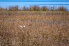 Whitetail doe peaks above Florida marsh grasses. A white deer camoflauged in tall Florida marsh grasses Stock Photo