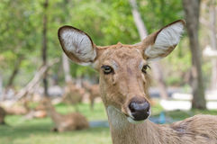 Whitetail doe portrait. Royalty Free Stock Photography