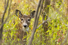 Whitetail doe portrait Royalty Free Stock Photo