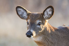 Whitetail doe portrait Stock Images