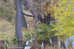 Whitetail Doe Reflection Royalty Free Stock Image