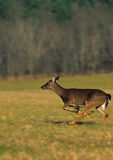 Whitetail Doe Running Royalty Free Stock Photo