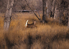 Whitetail Doe Running Royalty Free Stock Image
