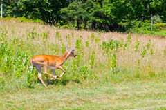 Whitetail Doe Running Royalty Free Stock Photos