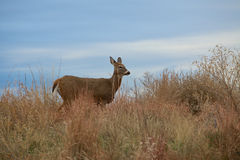Whitetail Doe. A whitetail doe standing amongst some weeds Royalty Free Stock Photo