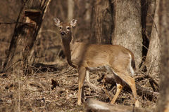 Whitetail doe with forest in background Stock Photo