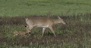 Whitetail doe walking across the meadow. Royalty Free Stock Image