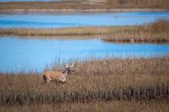 Whitetail doe walks through a Florida marsh. Whitetail doe walks through a marsh Royalty Free Stock Image