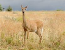 Whitetail doe Royalty Free Stock Image