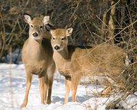 Whitetail Doe And Yearling Stock Photography