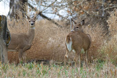 Whitetail Does. A couple of curious whitetail does Royalty Free Stock Images