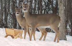 Whitetail Does at feeder Royalty Free Stock Photo