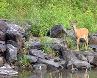 Whitetail Does (Odocoileus vir Royalty Free Stock Photography