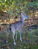 Whitetail en otoño Fotos de archivo libres de regalías