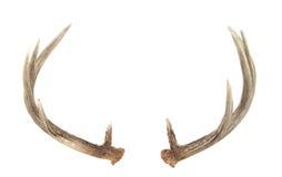 whitetail för bakre sikt för horn på kronhjorthjortar Royaltyfria Bilder