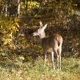 Whitetail in the fall. Whitetail buck at a forest's edge in autumn royalty free stock photo
