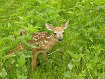 Whitetail Fawn 1. Newborn whitetail fawn standing in a field royalty free stock image