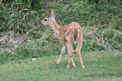 Whitetail Fawn royalty-vrije stock afbeelding