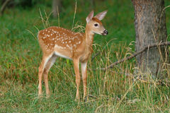 Whitetail Fawn Royalty Free Stock Photos