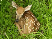 Whitetail Fawn 2 Royalty-vrije Stock Foto
